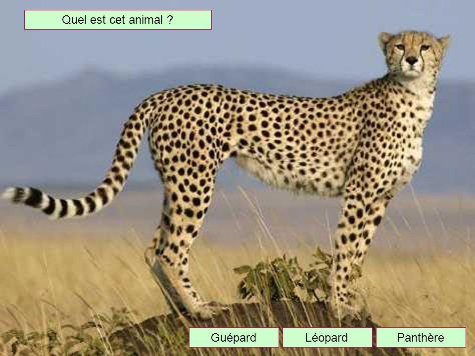 Quel est cet animal Guépard Léopard Panthère