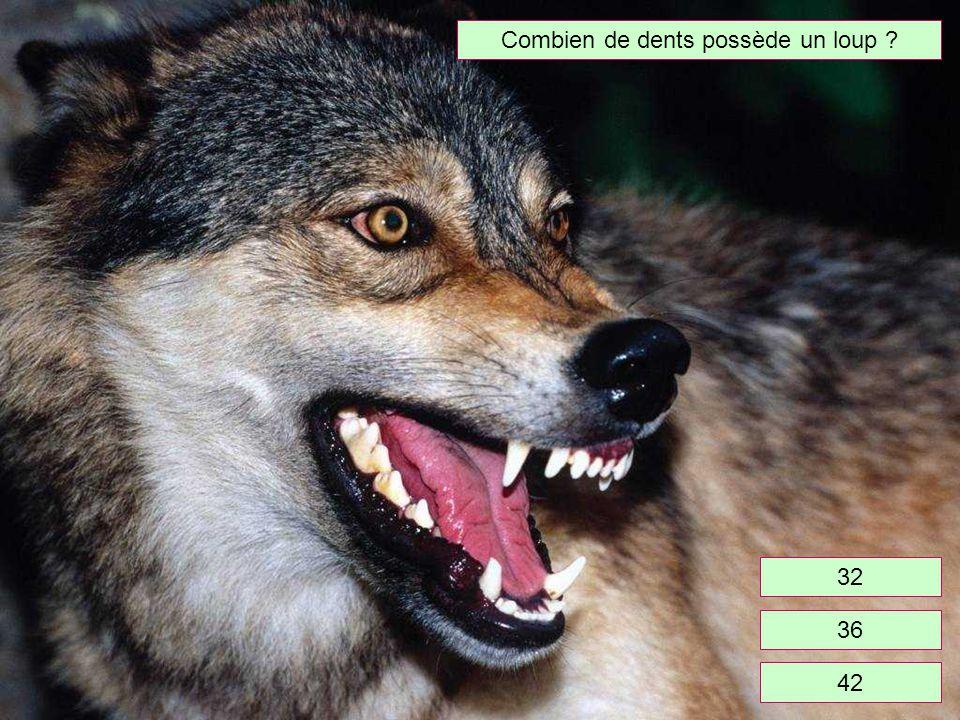 Combien de dents possède un loup