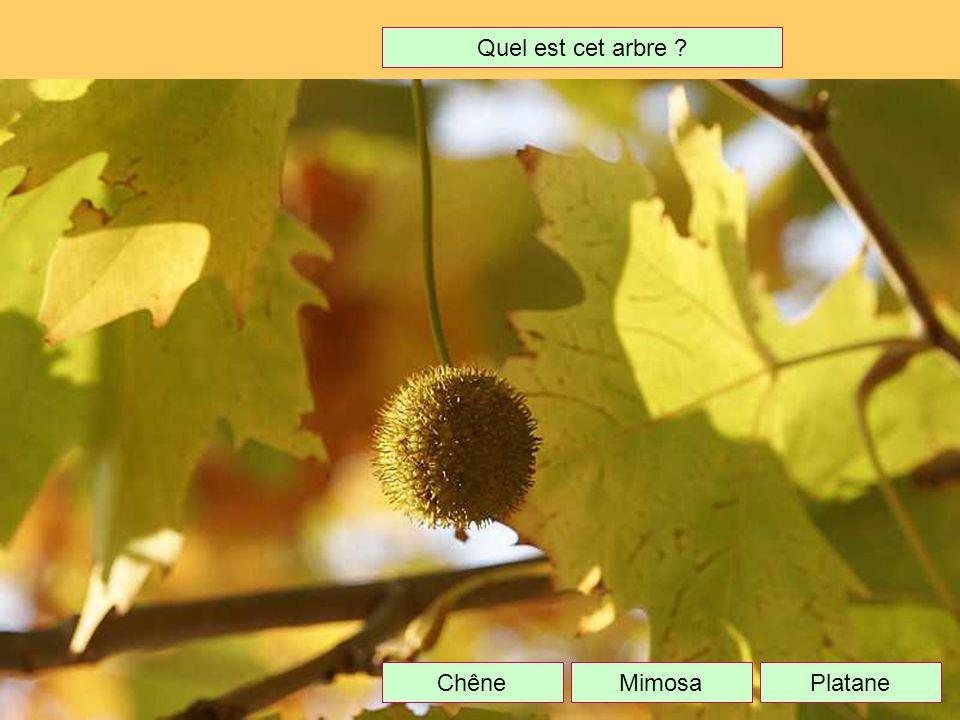 Quel est cet arbre Chêne Mimosa Platane