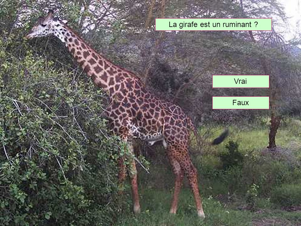 La girafe est un ruminant
