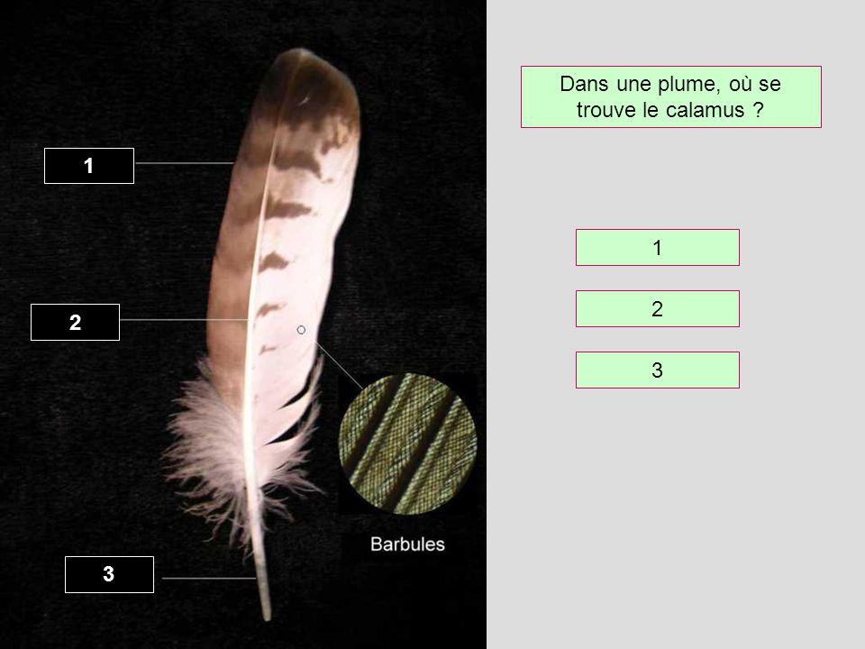 Dans une plume, où se trouve le calamus