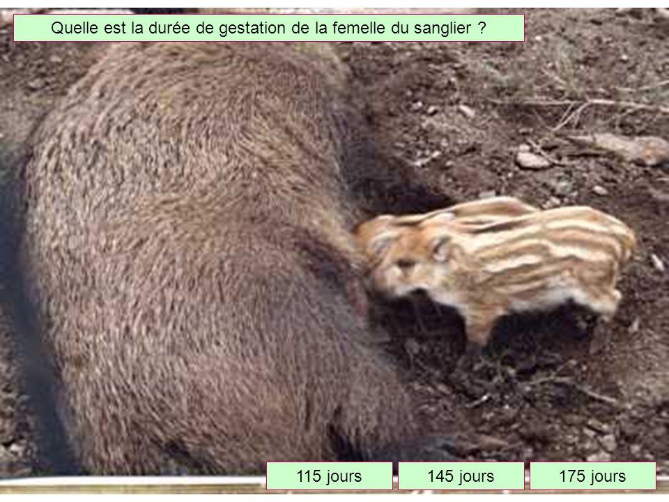 Quelle est la durée de gestation de la femelle du sanglier