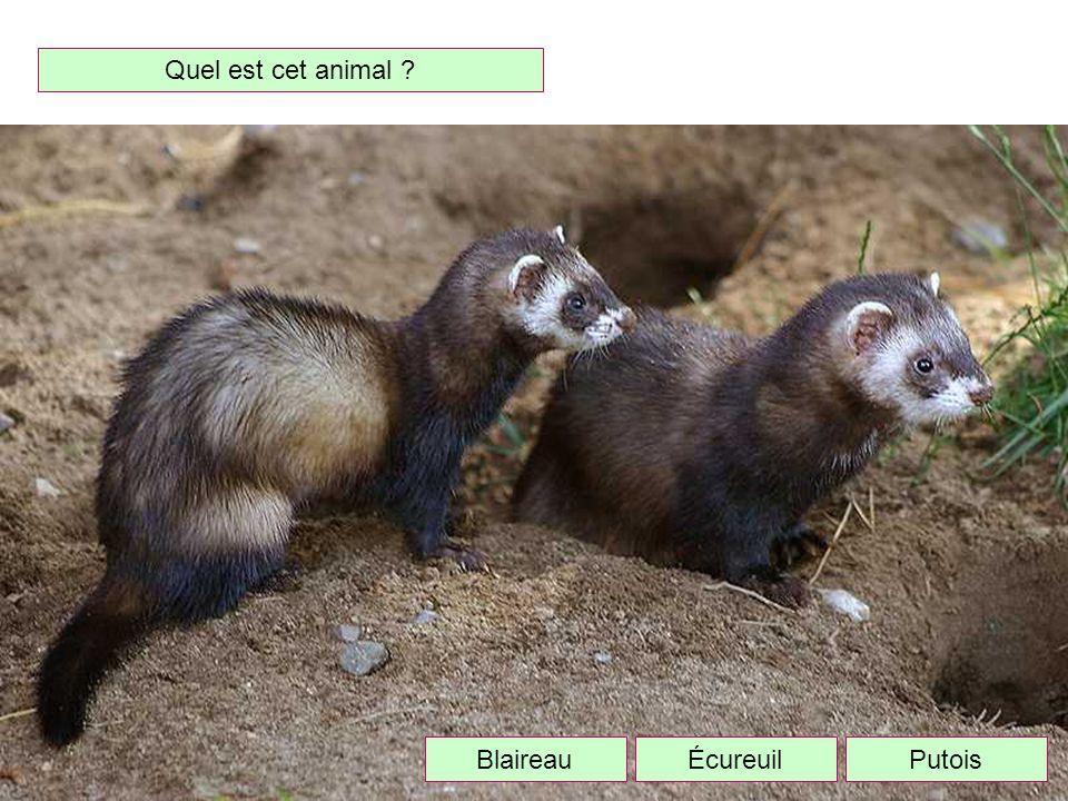 Quel est cet animal Blaireau Écureuil Putois