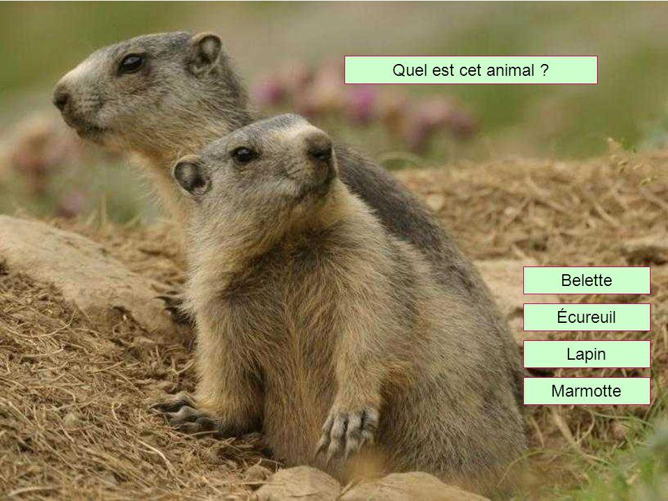 Quel est cet animal Belette Écureuil Lapin Marmotte