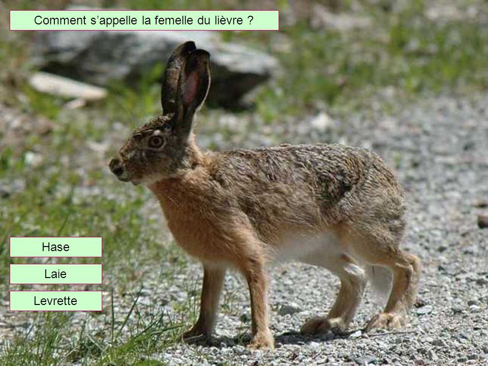 Comment s'appelle la femelle du lièvre