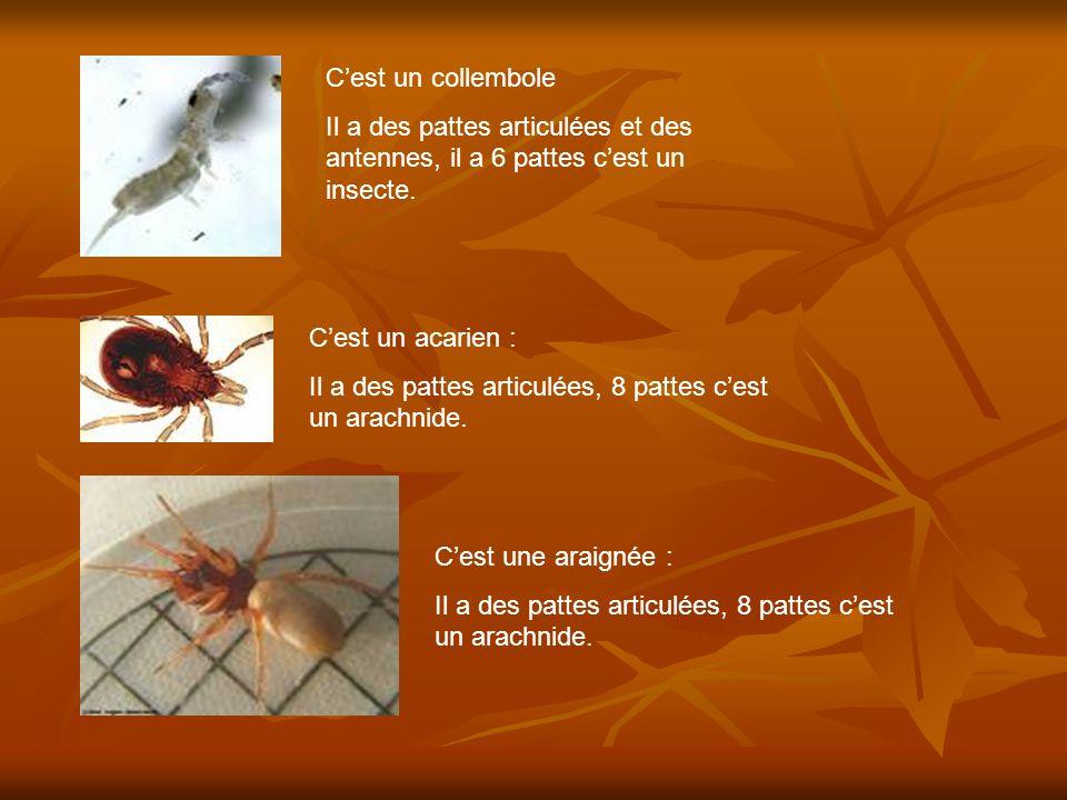 C'est un collembole Il a des pattes articulées et des antennes, il a 6 pattes c'est un insecte. C'est un acarien :