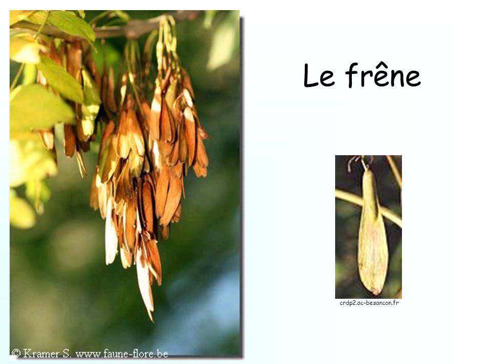 Le frêne crdp2.ac-besancon.fr