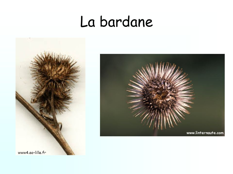 La bardane www.linternaute.com www4.ac-lille.fr