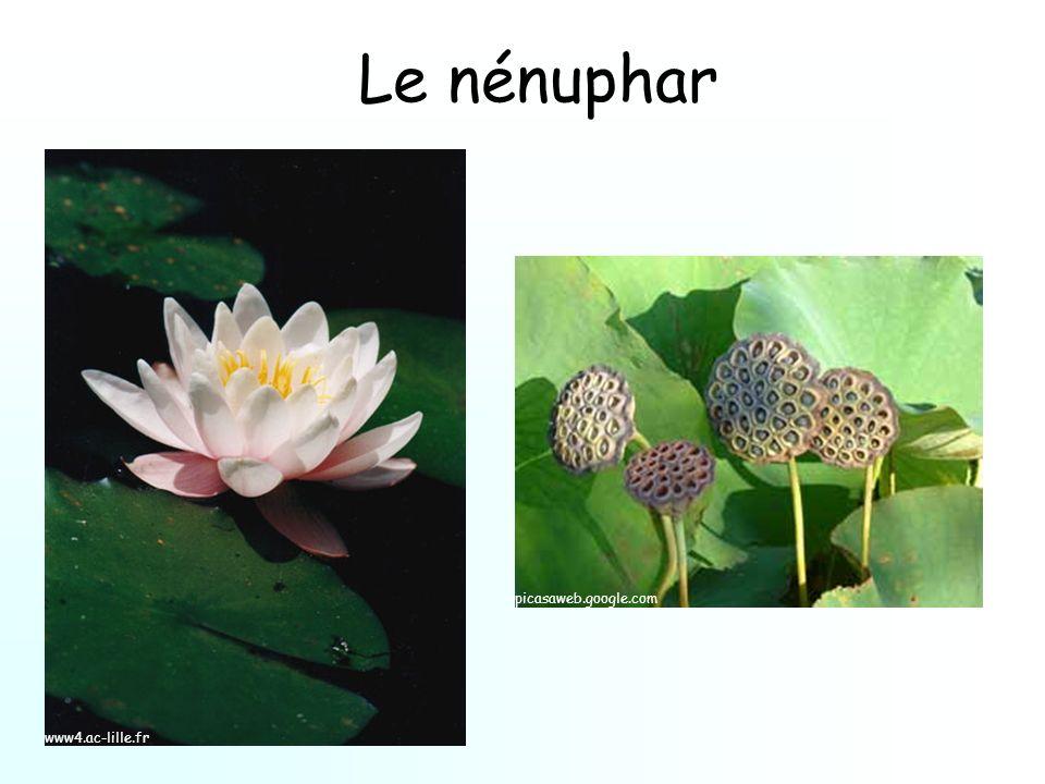Le nénuphar picasaweb.google.com www4.ac-lille.fr