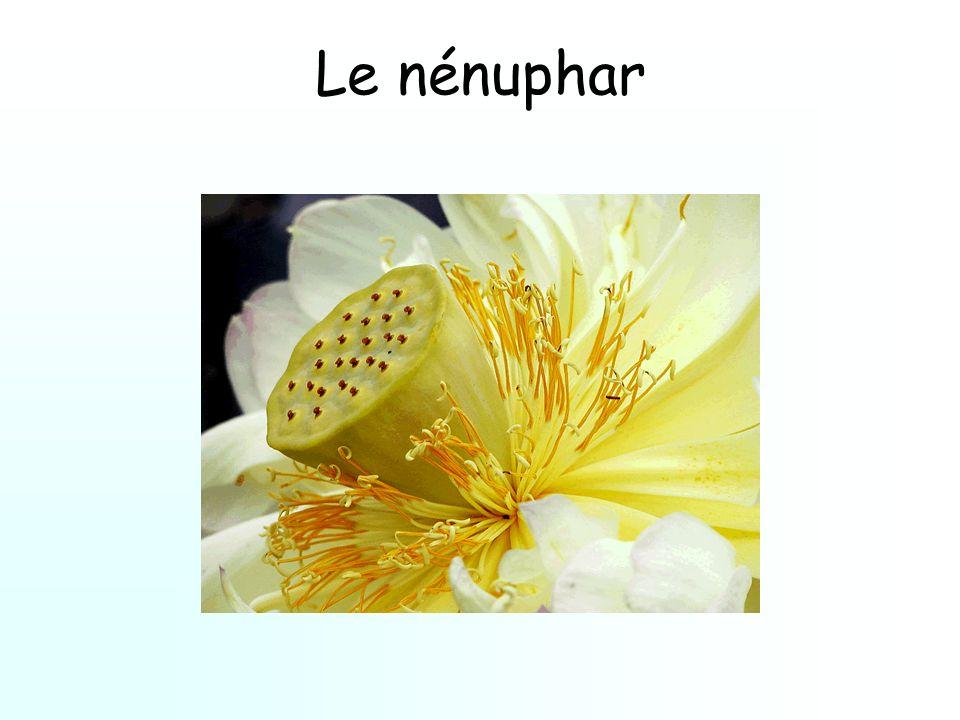 Le nénuphar