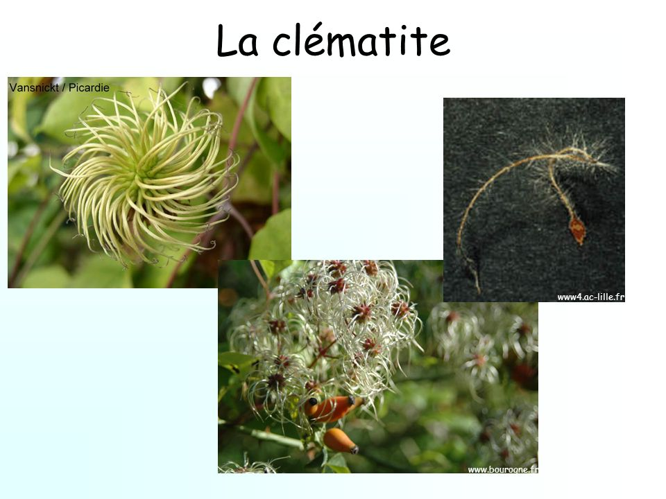 La clématite www4.ac-lille.fr www.bourogne.fr