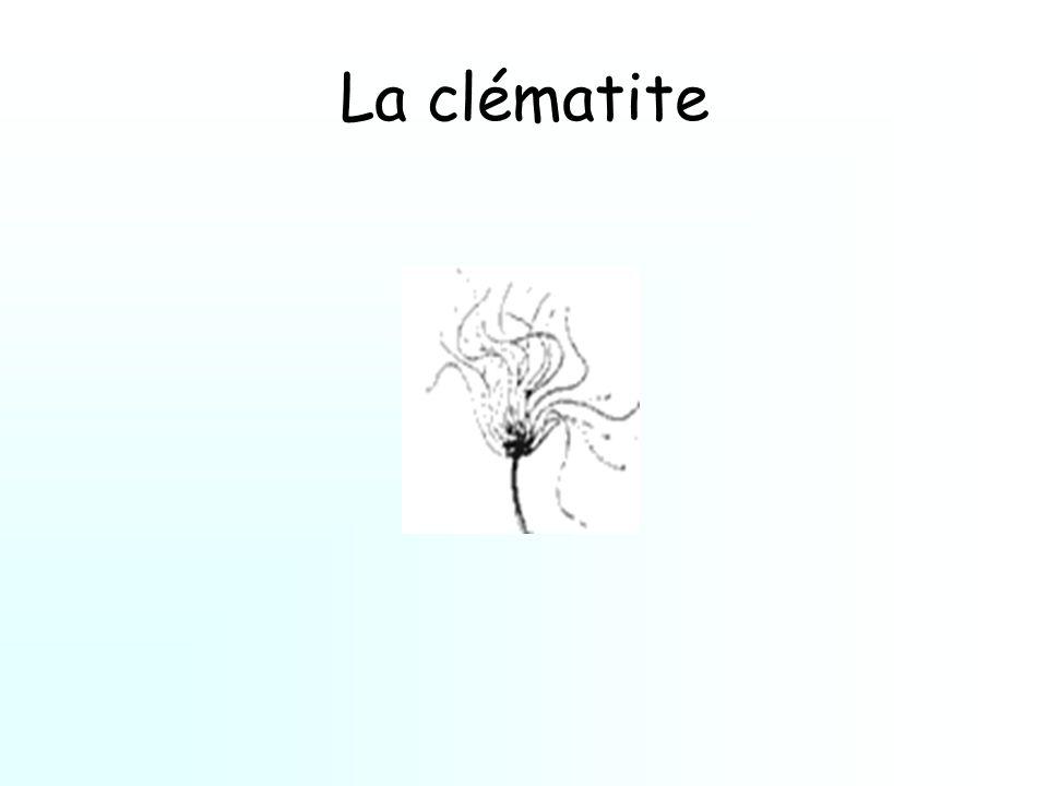La clématite