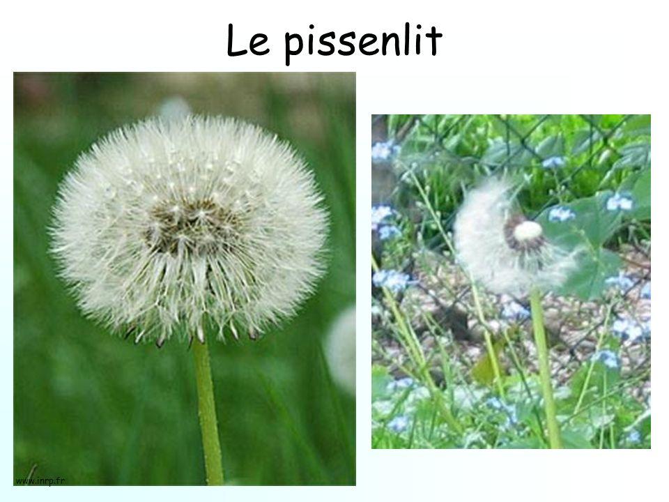 Le pissenlit www.inrp.fr