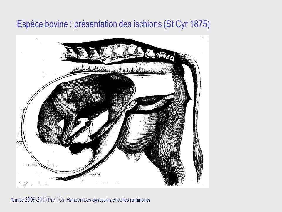 Espèce bovine : présentation des ischions (St Cyr 1875)