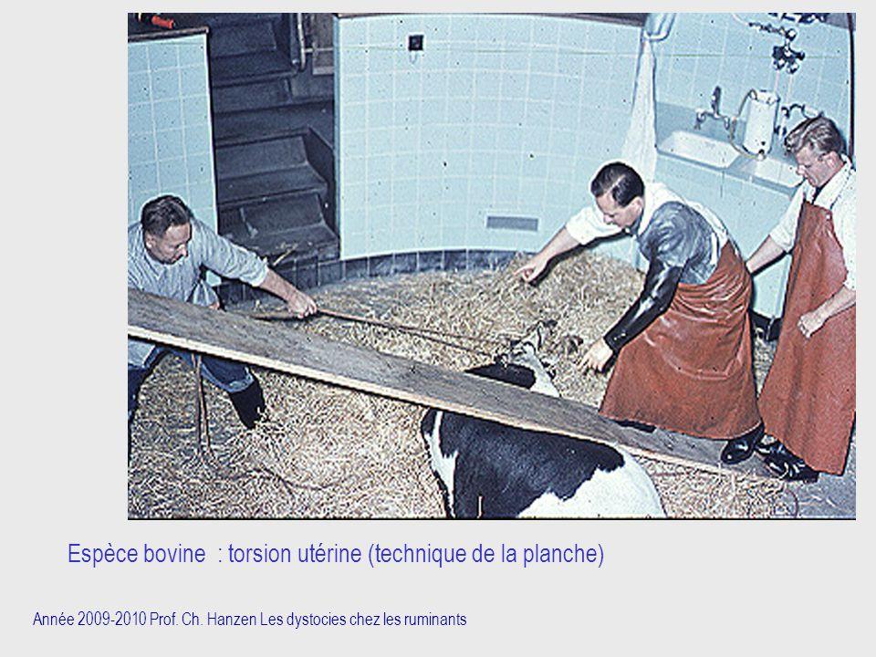Espèce bovine : torsion utérine (technique de la planche)
