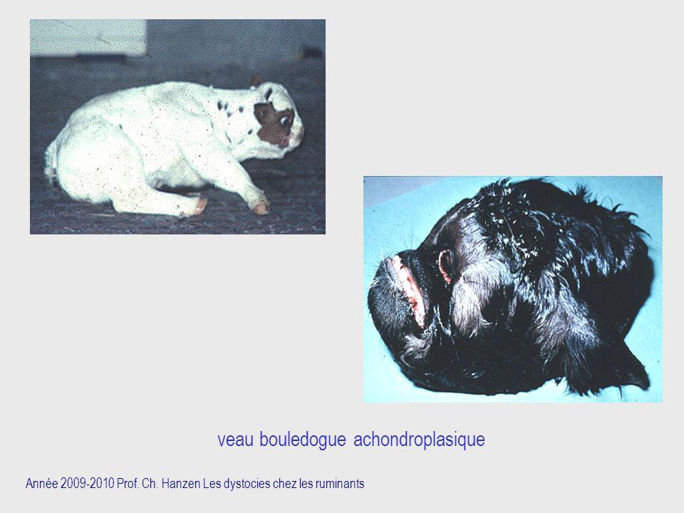 veau bouledogue achondroplasique