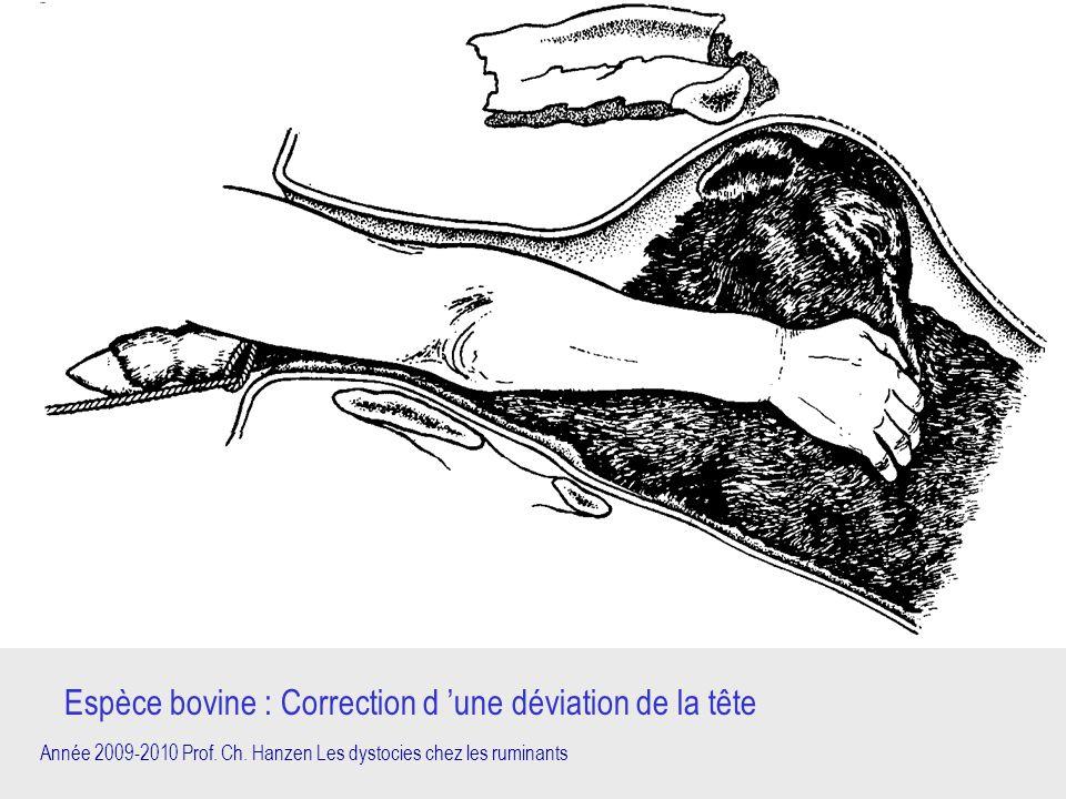 Espèce bovine : Correction d 'une déviation de la tête