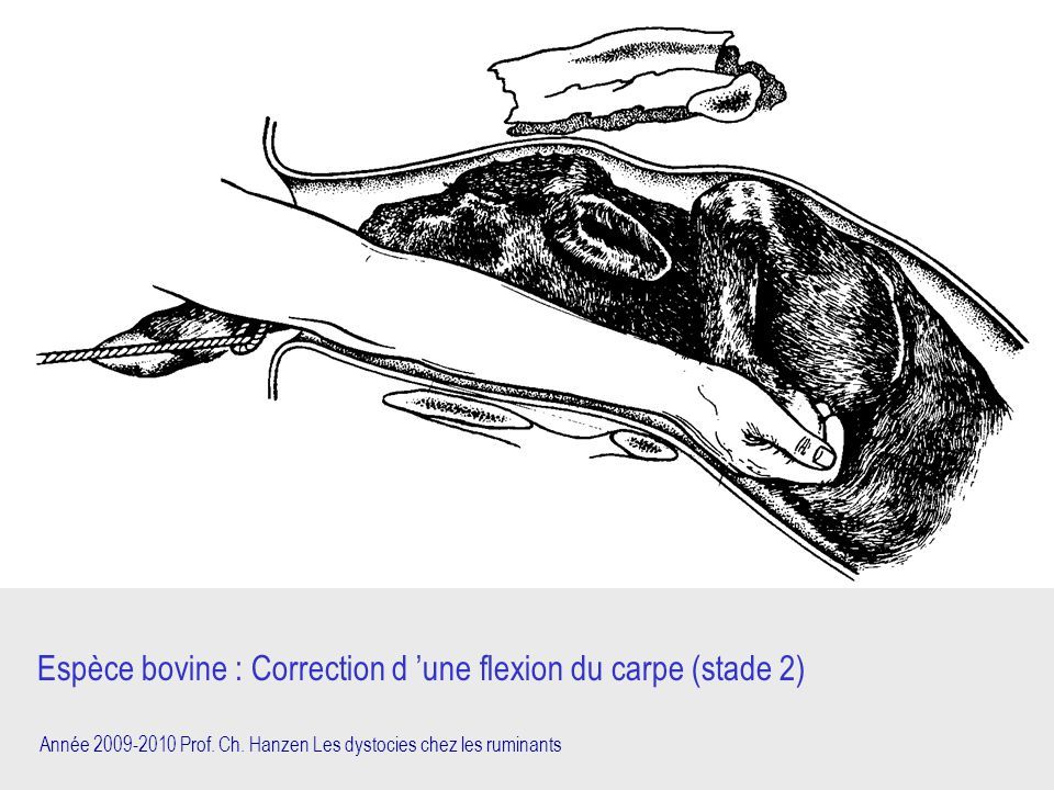 Espèce bovine : Correction d 'une flexion du carpe (stade 2)