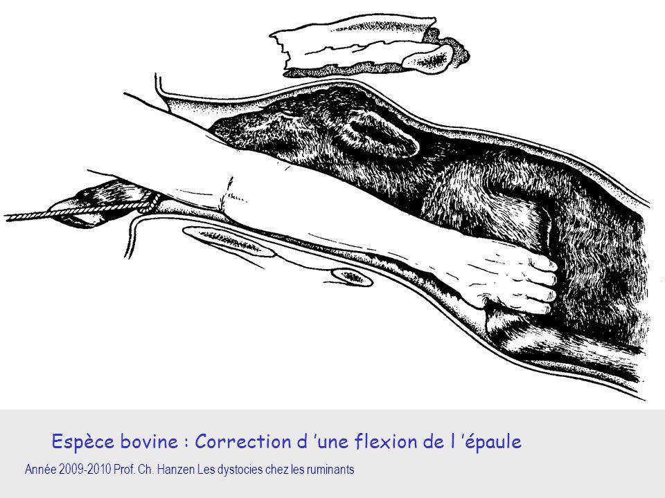 Espèce bovine : Correction d 'une flexion de l 'épaule