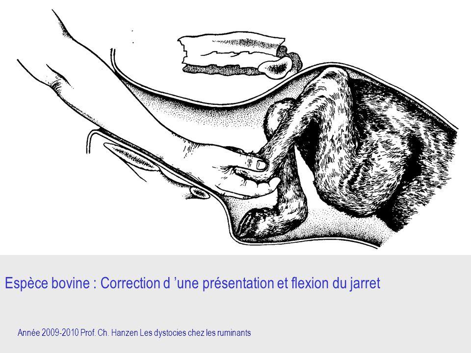 Espèce bovine : Correction d 'une présentation et flexion du jarret