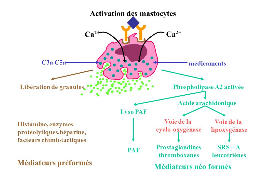 Activation des mastocytes