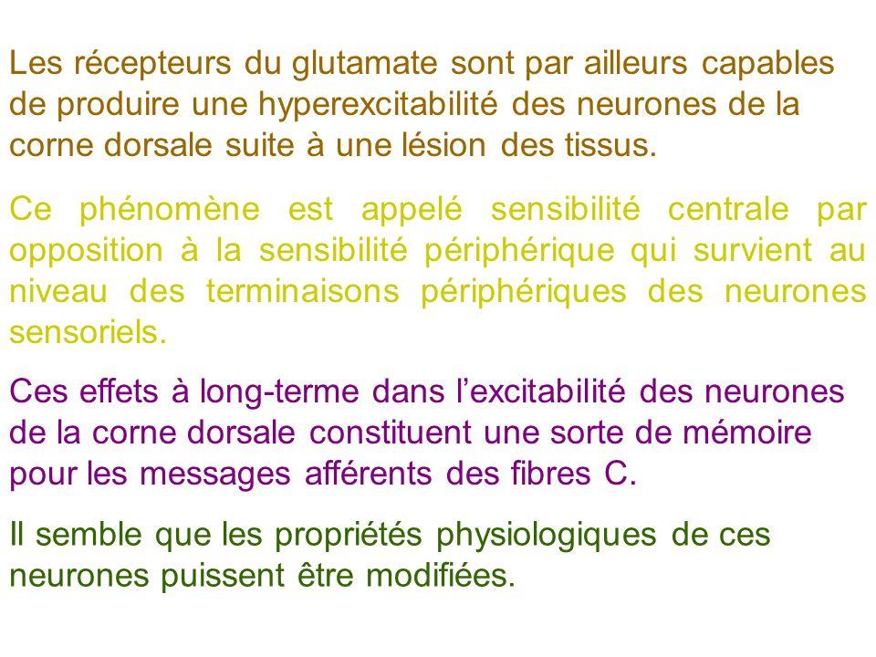 Les récepteurs du glutamate sont par ailleurs capables de produire une hyperexcitabilité des neurones de la corne dorsale suite à une lésion des tissus.