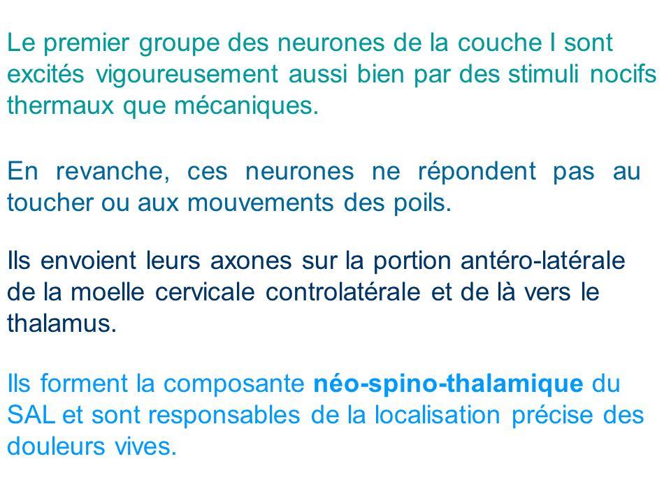 Le premier groupe des neurones de la couche I sont excités vigoureusement aussi bien par des stimuli nocifs thermaux que mécaniques.