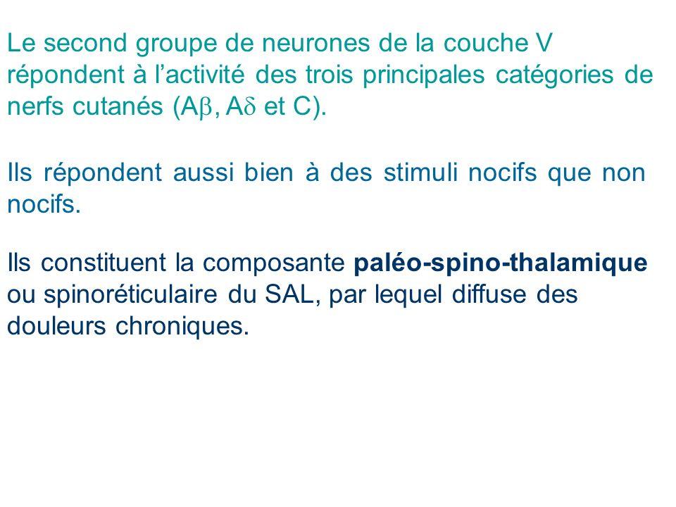 Le second groupe de neurones de la couche V répondent à l'activité des trois principales catégories de nerfs cutanés (Ab, Ad et C).