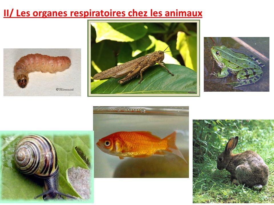 II/ Les organes respiratoires chez les animaux.