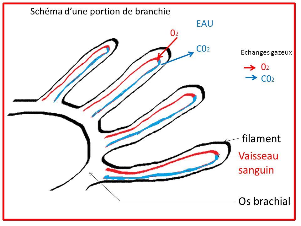 filament Vaisseau sanguin Os brachial Schéma d'une portion de branchie