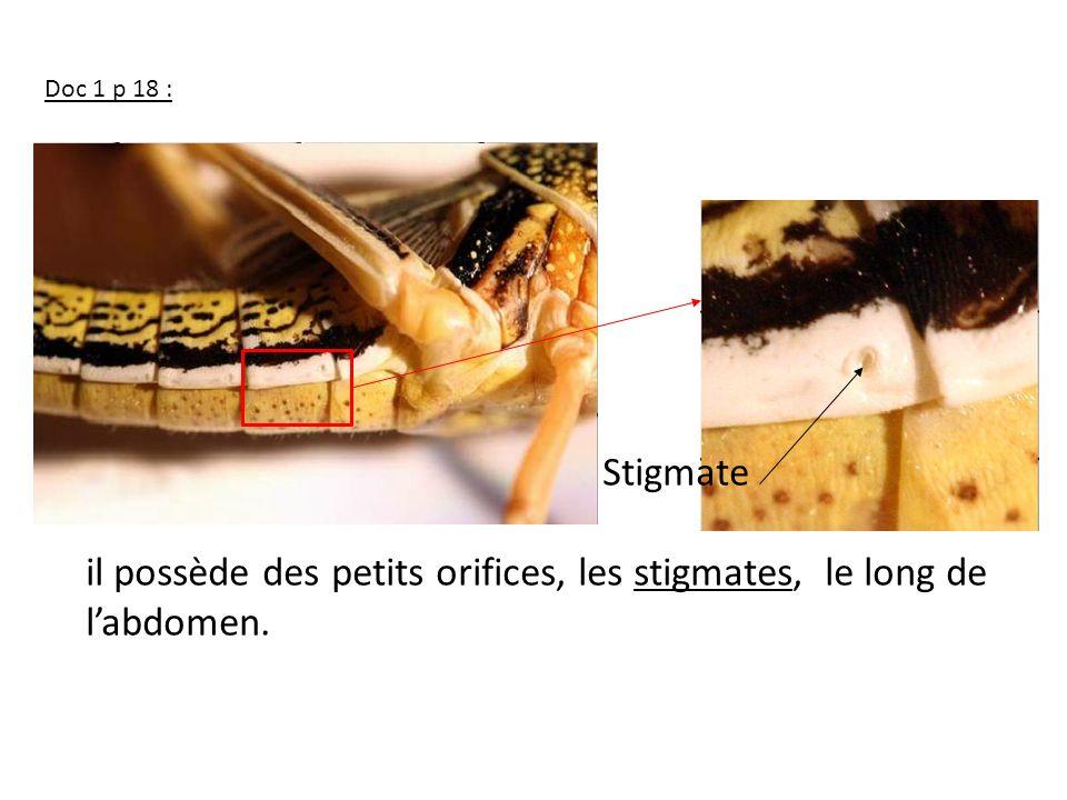 il possède des petits orifices, les stigmates, le long de l'abdomen.