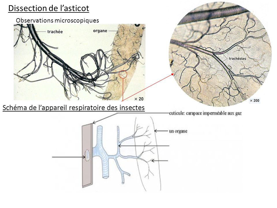 Dissection de l'asticot