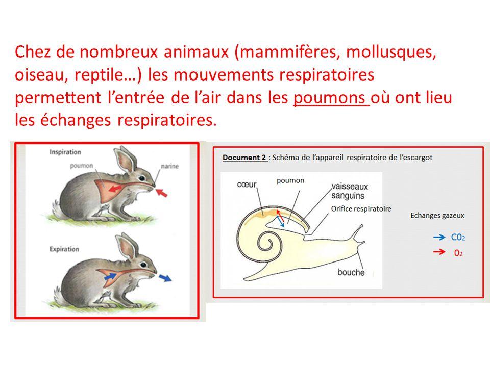 Chez de nombreux animaux (mammifères, mollusques, oiseau, reptile…) les mouvements respiratoires permettent l'entrée de l'air dans les poumons où ont lieu les échanges respiratoires.