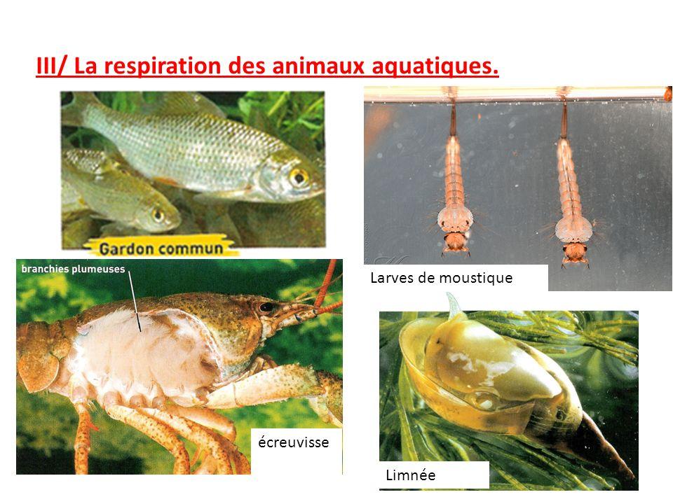 III/ La respiration des animaux aquatiques.