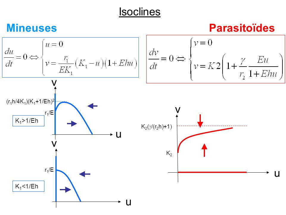 Isoclines Mineuses Parasitoïdes u v u v K1>1/Eh K1<1/Eh