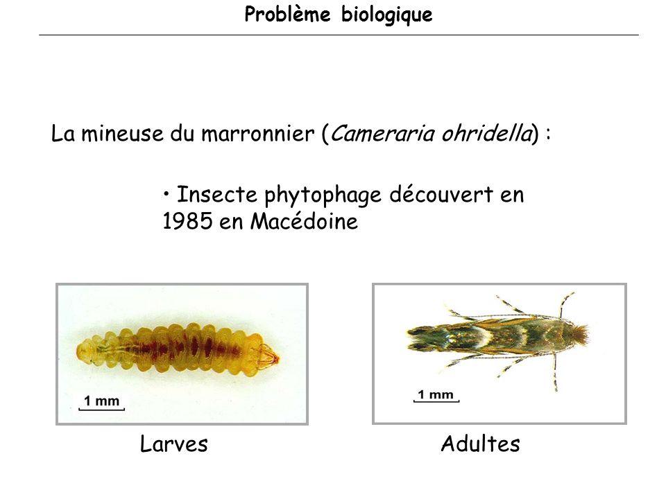 La mineuse du marronnier (Cameraria ohridella) :