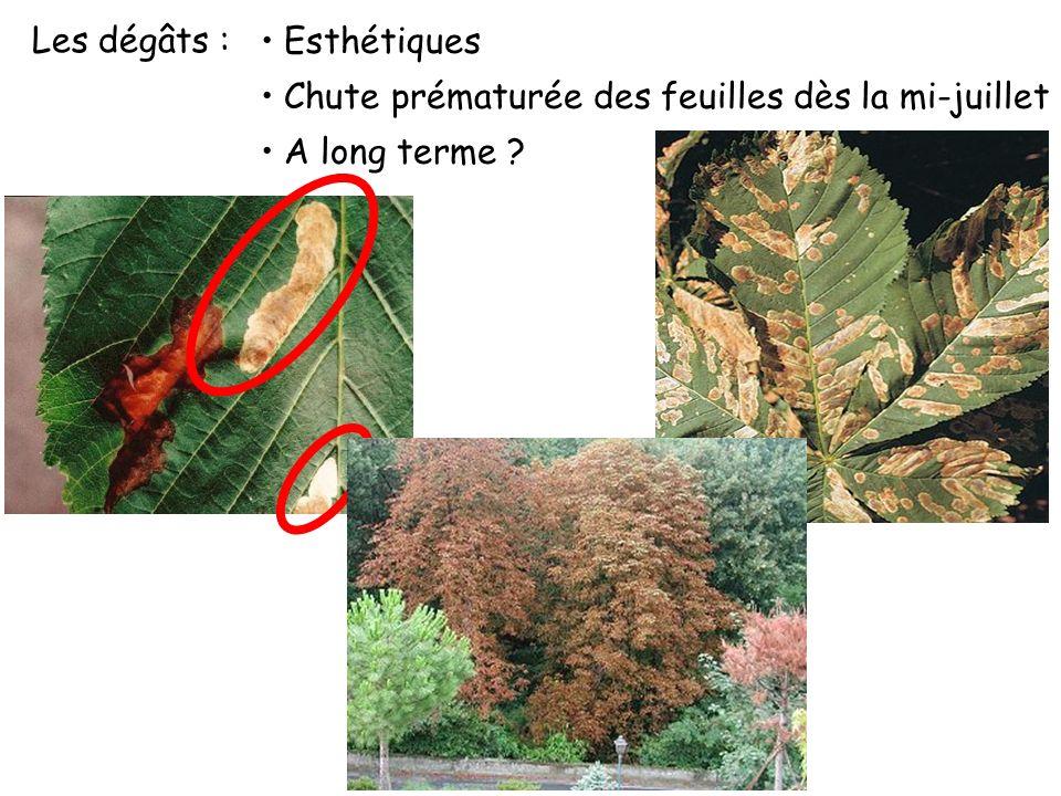 Les dégâts : Esthétiques Chute prématurée des feuilles dès la mi-juillet A long terme