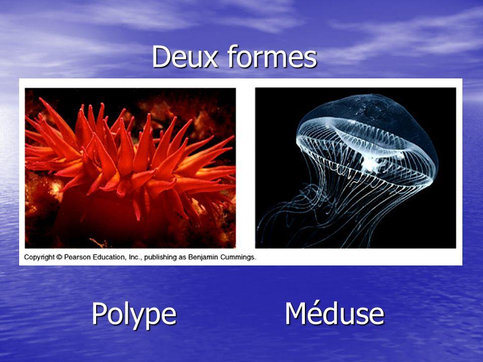 Deux formes Polype Méduse