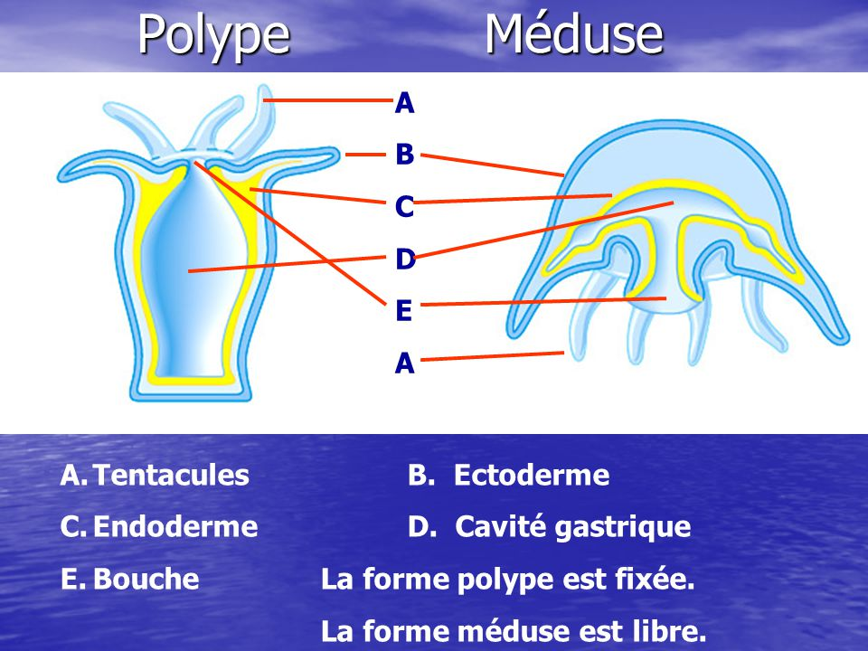 Polype Méduse A B C D E Tentacules B. Ectoderme