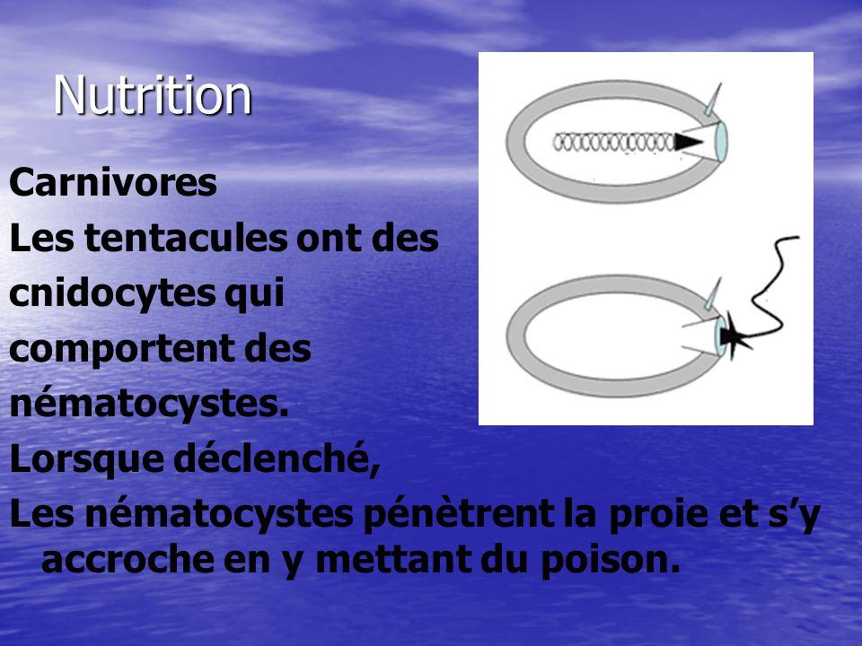 Nutrition Carnivores Les tentacules ont des cnidocytes qui