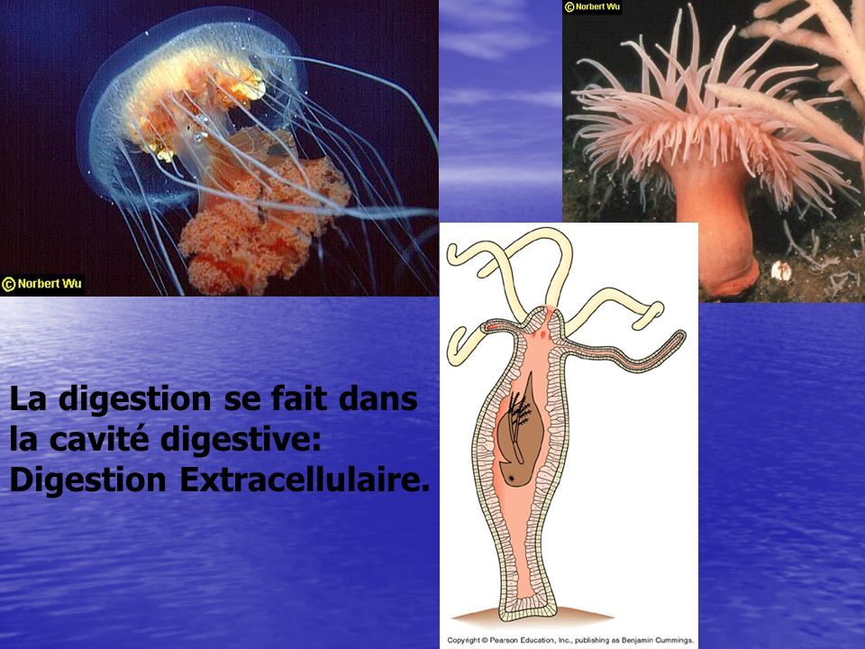 La digestion se fait dans la cavité digestive: