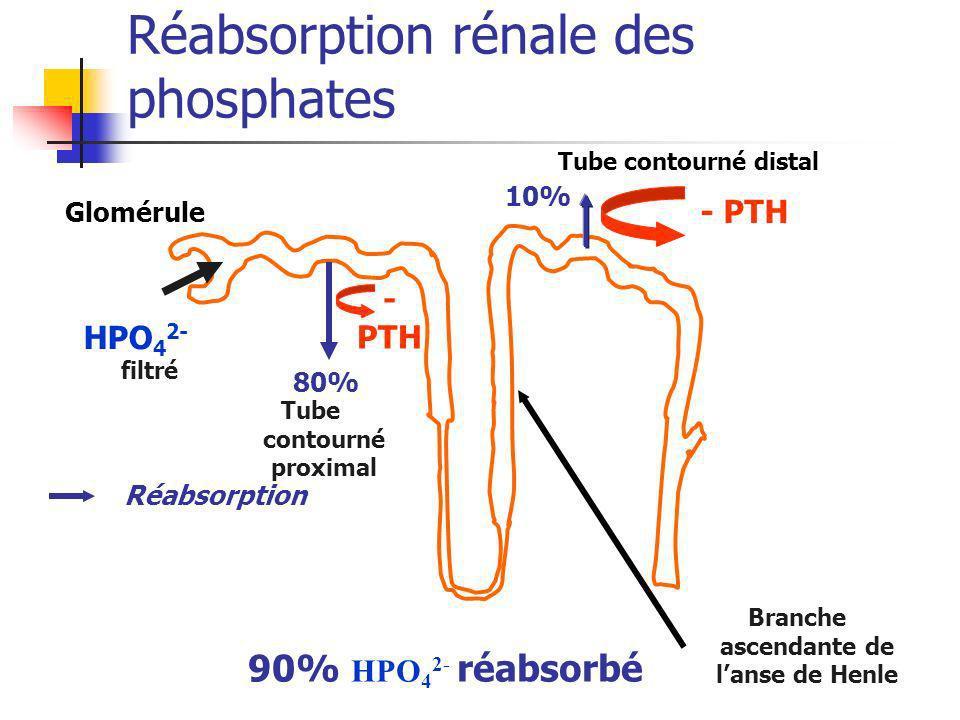 Réabsorption rénale des phosphates