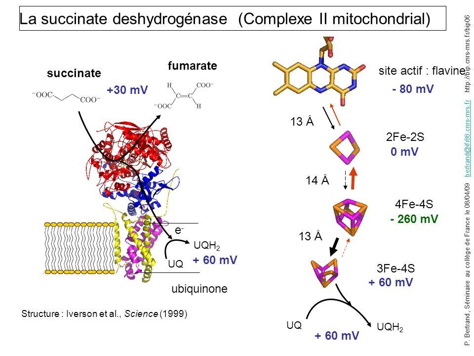 La succinate deshydrogénase (Complexe II mitochondrial)