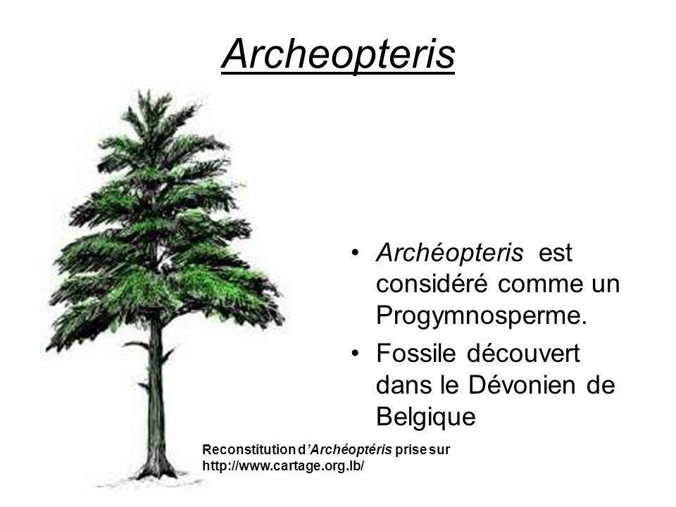 Archeopteris Archéopteris est considéré comme un Progymnosperme.