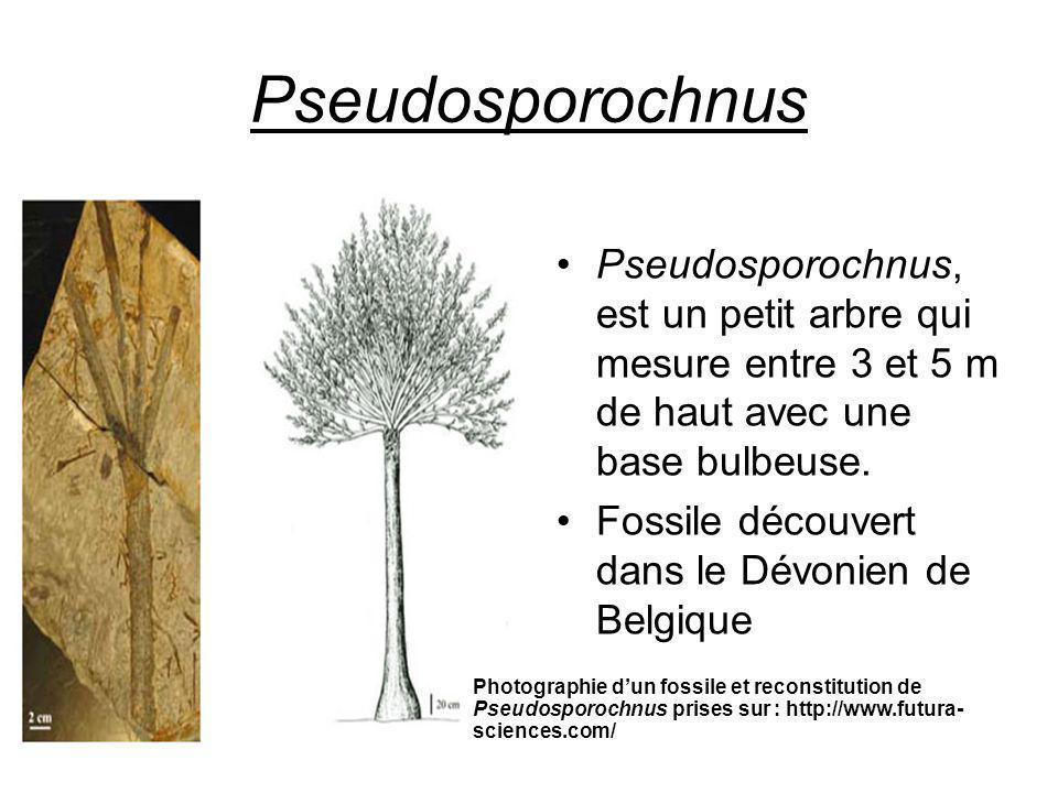Pseudosporochnus Pseudosporochnus, est un petit arbre qui mesure entre 3 et 5 m de haut avec une base bulbeuse.