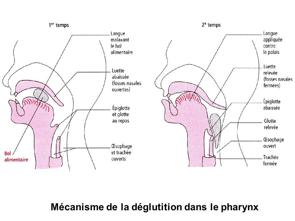 Mécanisme de la déglutition dans le pharynx
