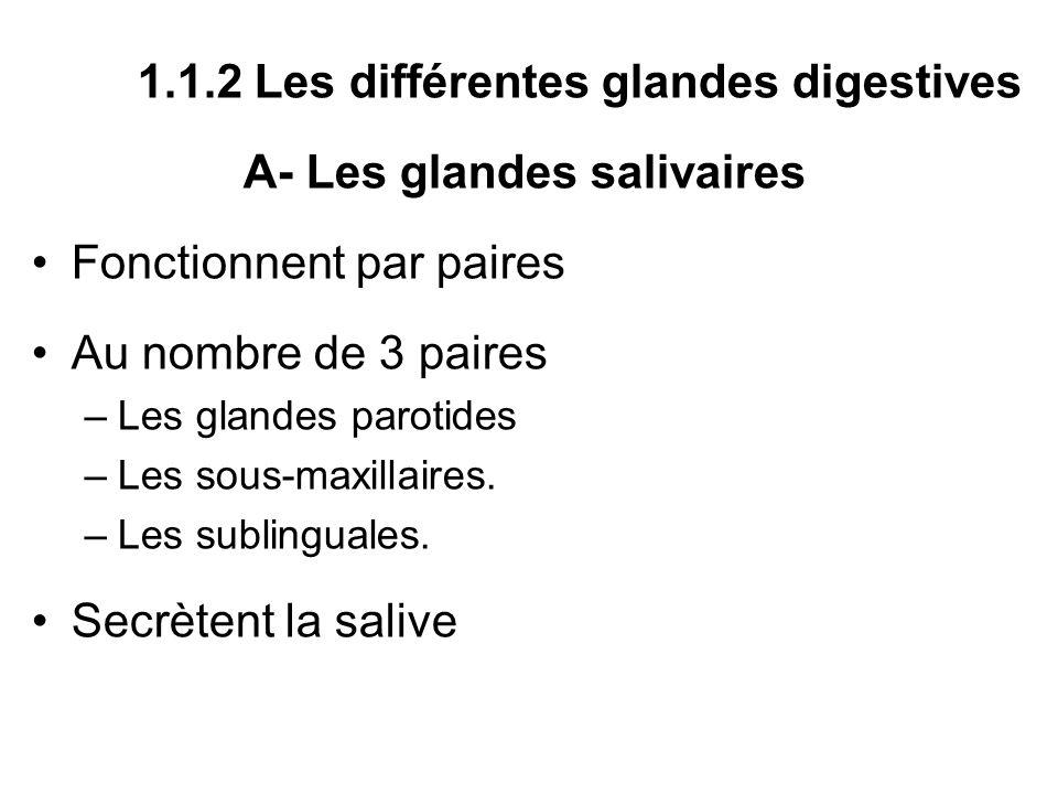 1.1.2 Les différentes glandes digestives A- Les glandes salivaires