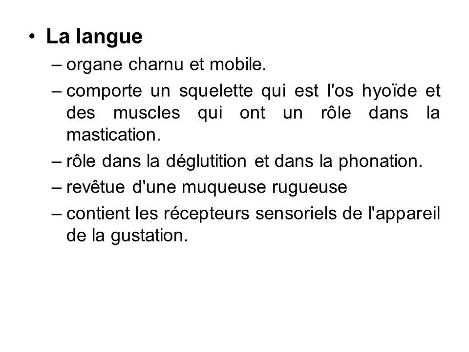 La langue organe charnu et mobile.