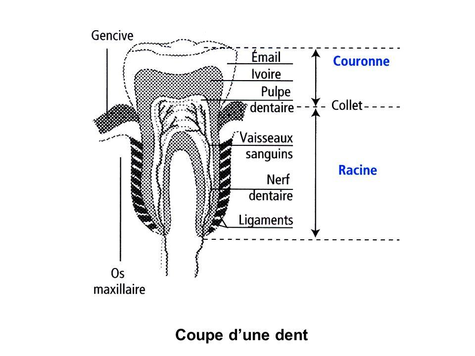 Coupe d'une dent