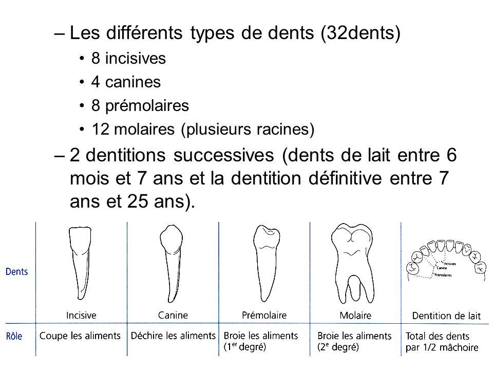 Les différents types de dents (32dents)
